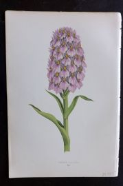 Wooster 1874 Antique Botanical Print. Orchis Foliosa